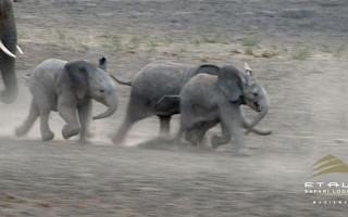 Charging Baby Elephants
