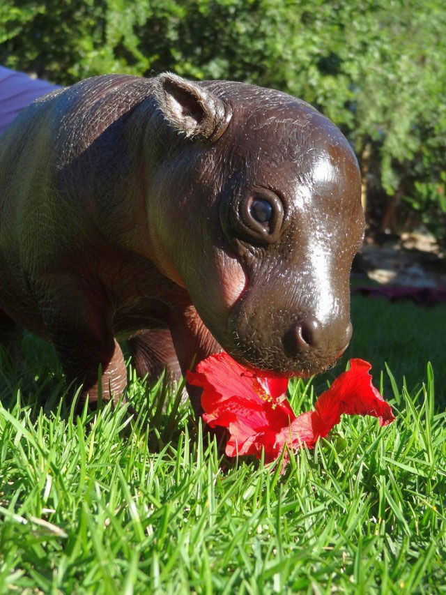 South Africa S Rare Pygmy Hippo Weighs In At 10kgs