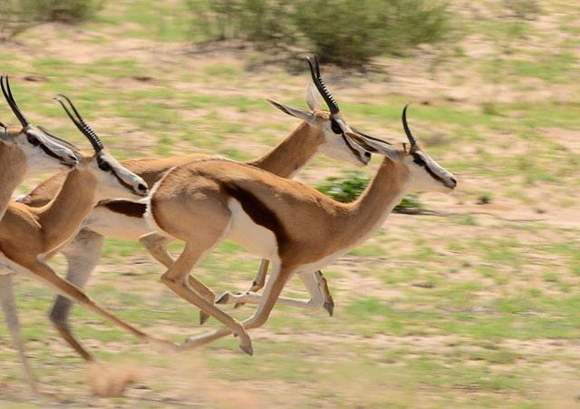 Springbok The Kgalagadi S Kangaroos Africa Geographic