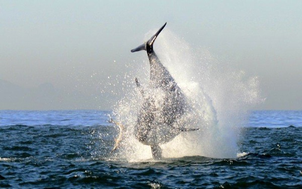 Making A Splash Orcas In False Bay Africa Geographic