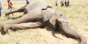 Elephant-poached