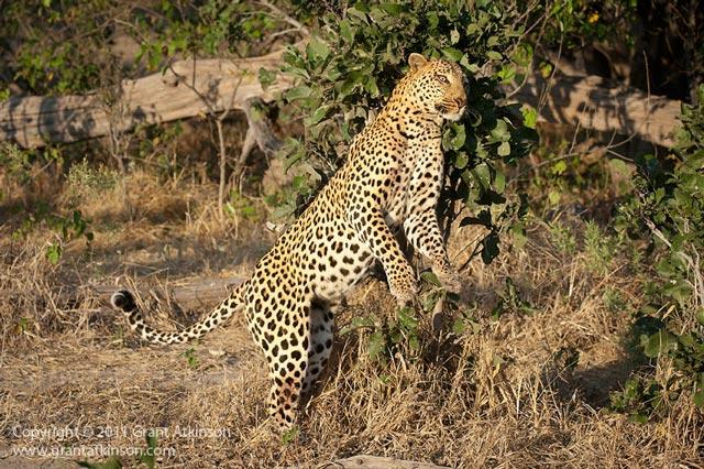 Leopard Behaviour Information Technology Africa Geographic