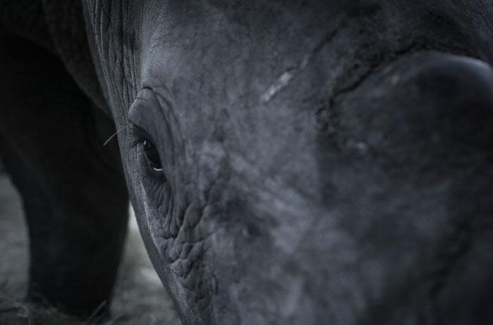 HESC rhino