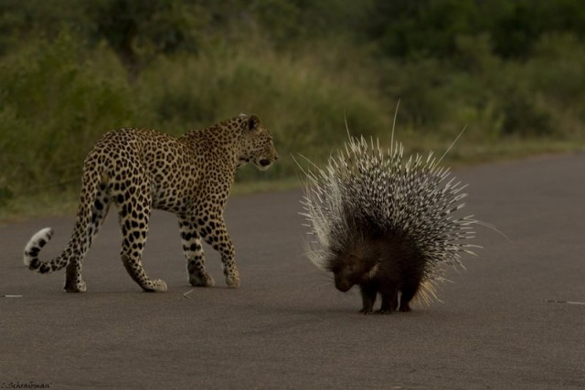 Leopard Gets Quilled In The Kruger Africa Geographic