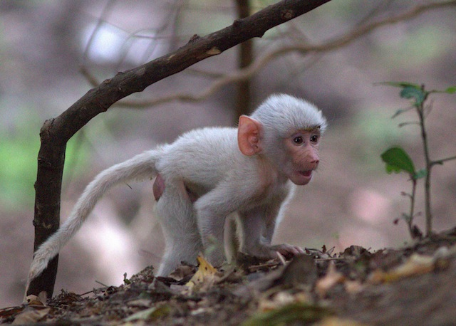 Rare Snow-White Baby Baboon Discovered in Zambia! - Africa ...