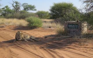 Kgalagadi-lions