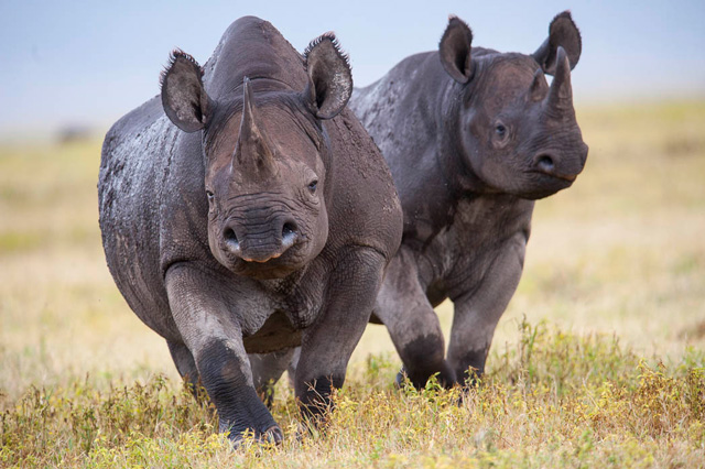 New Facts Debunk Common Beliefs About Rhino Poaching