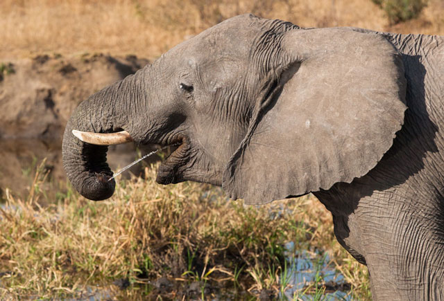 Adapt Or Die A Trunk Squirting Elephant S Story Of