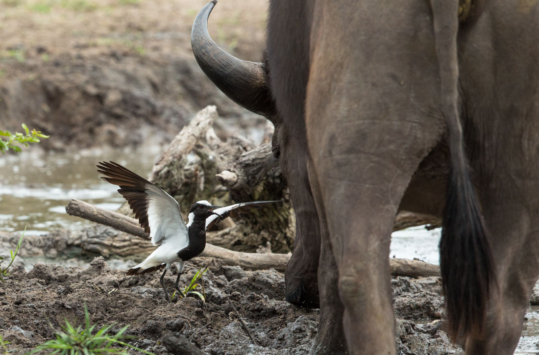 Little Bird With A Lion Heart Lapwing Bites A Buffalo In