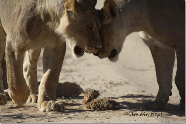 Big Cat Internships Africa