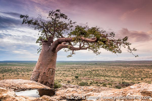 How Dung Beetles Give Birth To Baobab Trees Africa