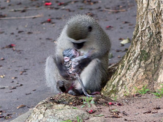 A Baby Monkey Born In The Suburbs Africa Geographic