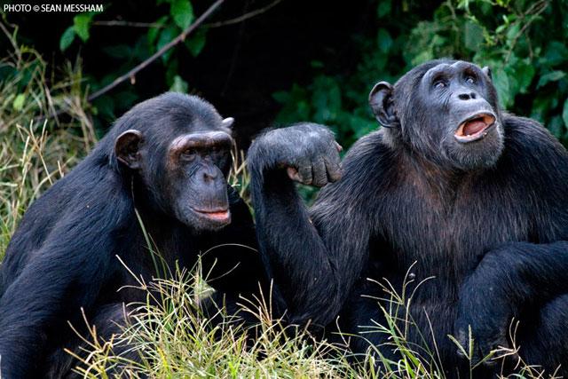 The Ngamba Chimpanzee Sanctuary In Uganda Africa Geographic