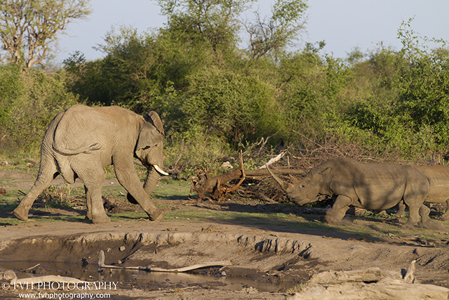 Tense Stand Off Between Elephant And Rhino Africa