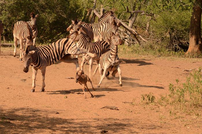 wildebeest and zebra relationship