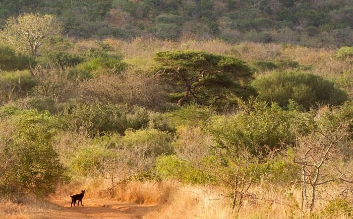 A rare melanistic serval sighting