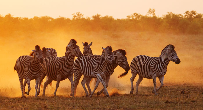 Looking At Zebras In A Different Light Africa Geographic