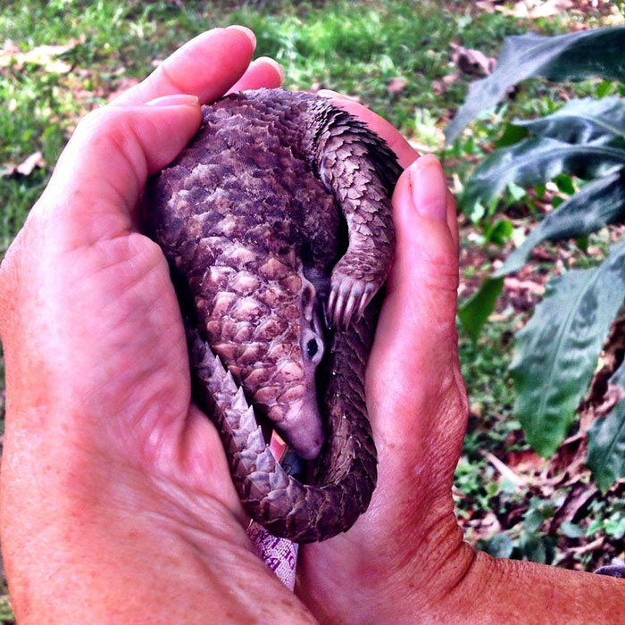white bellied pangolin