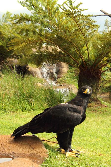 black eagle drakensberg
