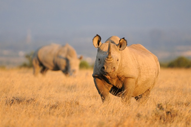 conservation of the black rhino Poaching and habitat destruction across sub-saharan africa brought the black rhinoceros ( diceros bicornis) close to extinction over the past few decades, however.