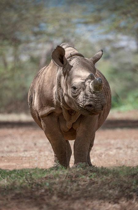 The Black Rhinos Of Lewa - Africa Geographic-2812