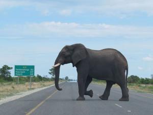 An elephant roadblock