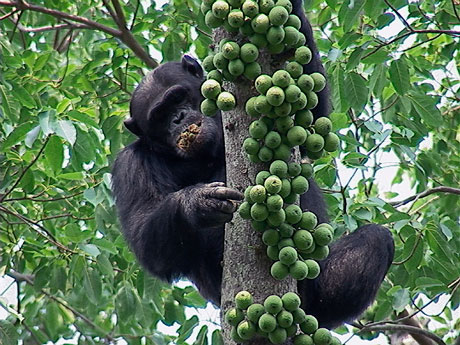 A Must Do Encounter With Chimpanzees Africa Geographic