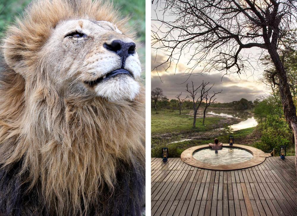 djuma-comp-pool-lion