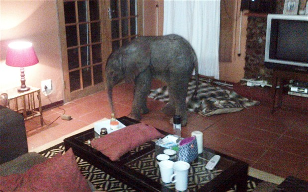 Baby Elephant Wanders Into South African Living Room . Part 66