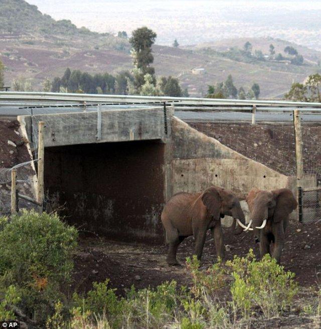 Elephants Cross Highway Using New Underpass Africa