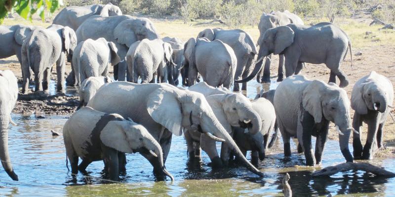 elephants-water