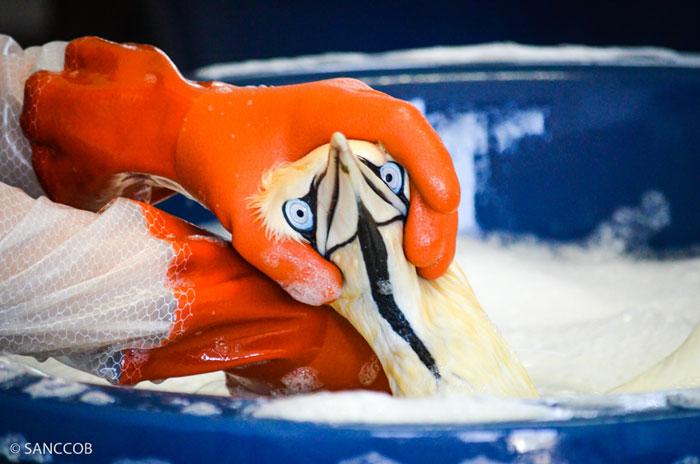gannet rescue