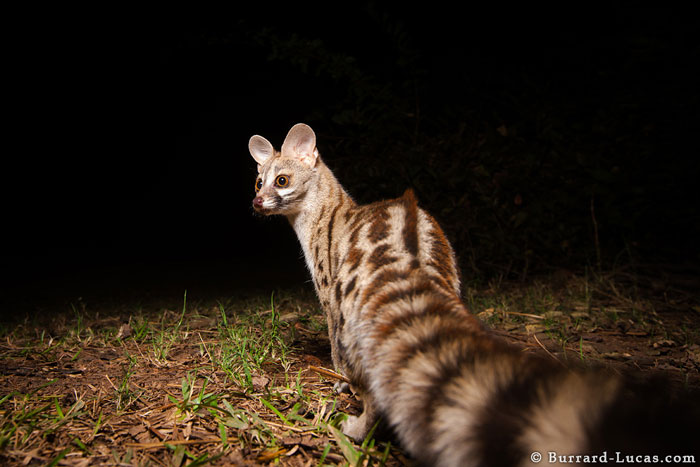 Best Dslr For Video 2017 >> Camera trap wildlife photography - Africa Geographic