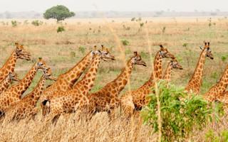 giraffe-garamba-national-park