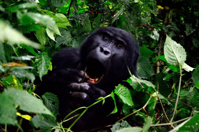 Tips for a great gorilla trekking experience