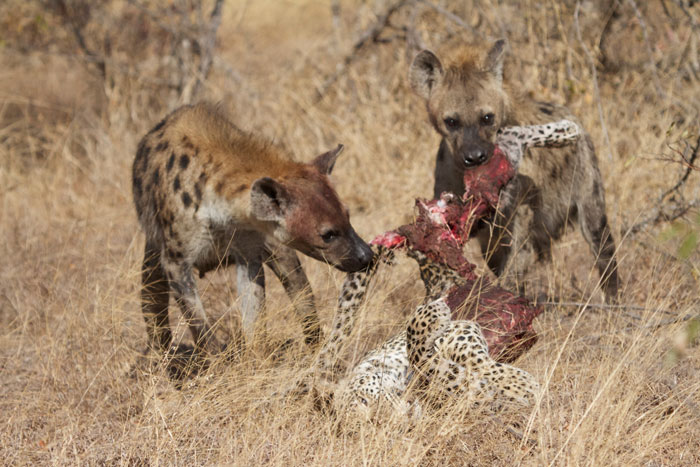 Hyenas Kill A Leopard Africa Geographic