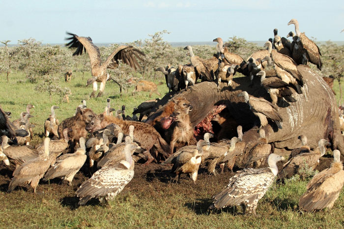 Lions Trap Hyena Inside A Dead Elephant Africa Geographic