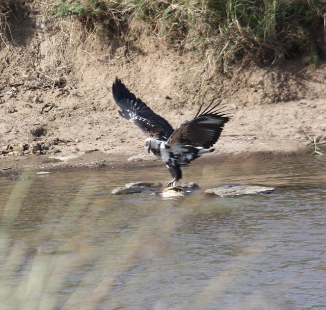 Fascinating Encounter Between A Fish Eagle And Monitor