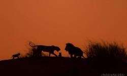 kalahari lion cubs