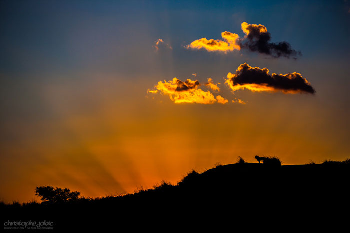 kalahari lion sunset