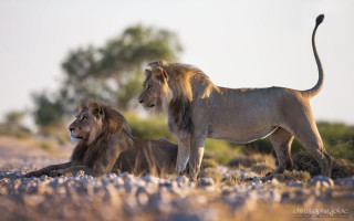 kalahari safari lions