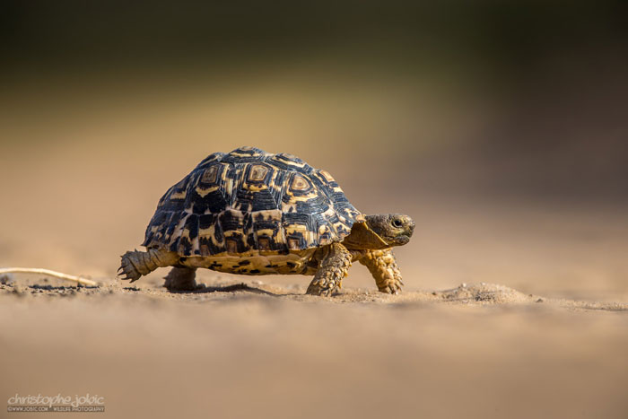 kalahari tortoises