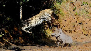 leaping leopard and warthog