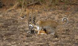 leopard cub playing