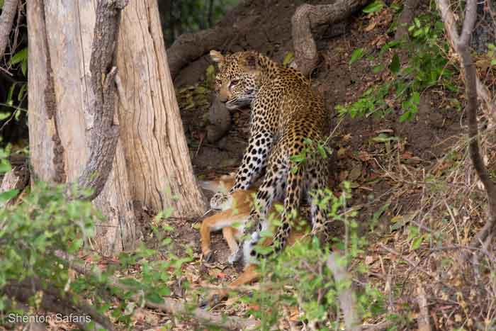 Leopard cub in training - Africa Geographic Leopard Cubs With Mother