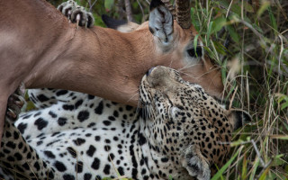 leopard-killing-impala