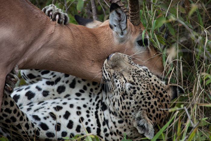 Witness To A Leopard Kill Africa Geographic