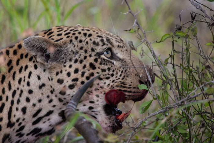 leopard-licking-lips