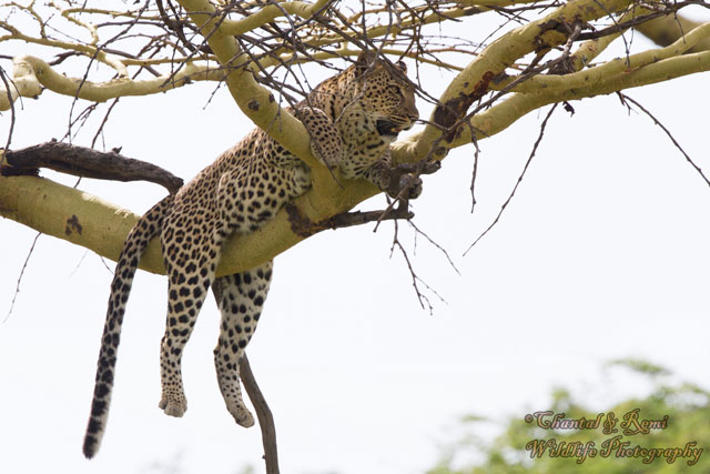 The flying leopard - Africa Geographic Leopard Cubs With Mother