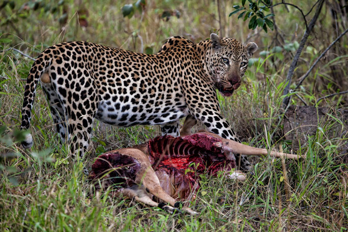 leopard-with-kill